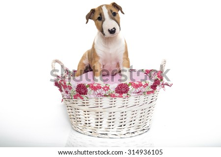 A red Bull Terrier puppy in a pink and white basket - stock photo