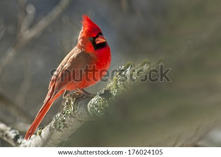 A red Cardinal male poses on a tree limb. - stock photo