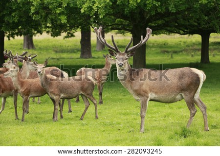 A red deer stag and a herd of does grazing in Richmond park, London - stock photo
