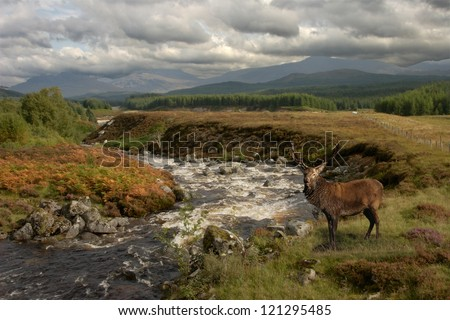 A Red Deer stag pauses by the river in Glen Roy in the Scottish Highlands. - stock photo
