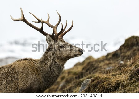 A red deer stag with twelve points on its antlers, known as a royal stag, on a Scottish Highland glen with snow covered mountains in the distance. - stock photo