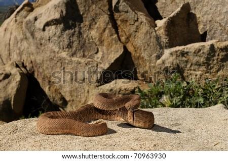 A Red Diamond Rattlesnake in the Santa Ana Mountains of Riverside. - stock photo