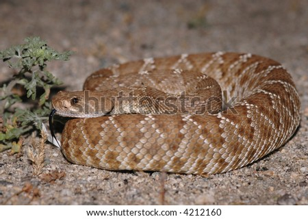 A red diamond rattlesnake photographed at night when it is naturally active. - stock photo