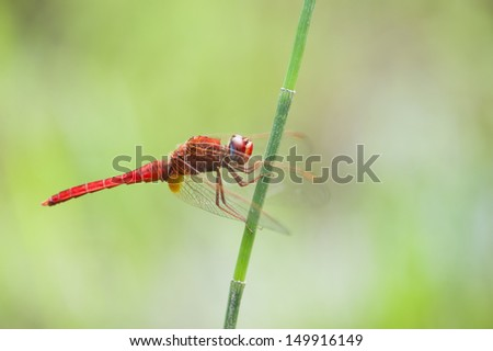 A red dragonfly. - stock photo