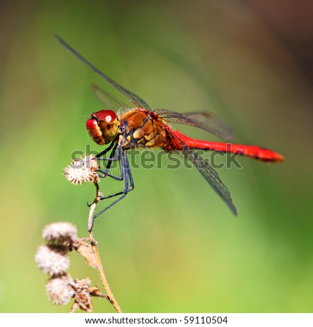 A red dragonfly at rest Sympetrum vulgatum - stock photo