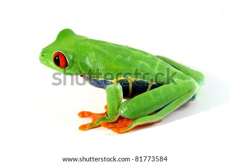 A Red-eyed tree frog on white.