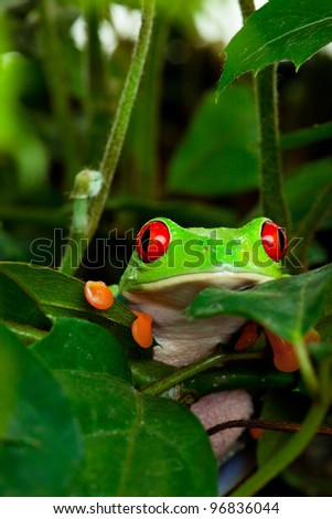 A red eyed tree frog peeking out of her hiding place in the leaves. - stock photo