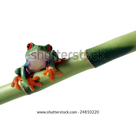 A red-eyed tree frog sits on a bamboo shoot - stock photo