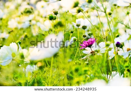 A red flower growing in a white flower field. - stock photo