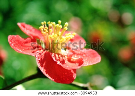 a red flower - petal on a green background with water drops - stock photo