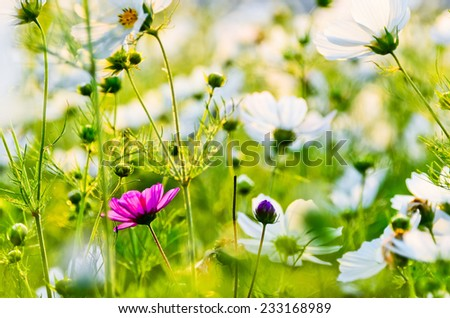 A red flower standing out in a white flower field. - stock photo