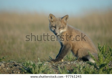 A red fox kit in a field on the south end of San Juan Island. - stock photo