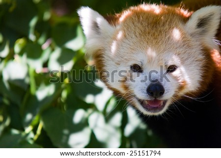 A red fox looking at you from a zoo