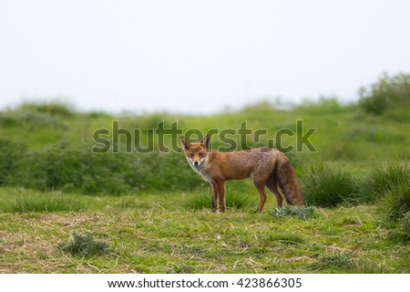 A Red Fox (Vulpes vulpes) standing in pasture field looking at the camera, against a blurred natural background, East Yorkshire, UK - stock photo