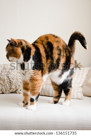 A red haired british shorthair stretches her back after a sleep on a chair - stock photo