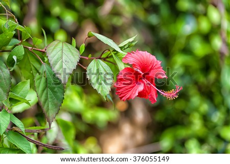 A red hibiscus blossom in the wilderness of Sri Lanka in the Indian Ocean - stock photo