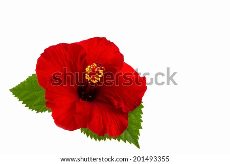 a red hibiscus flower isolated on white background. - stock photo