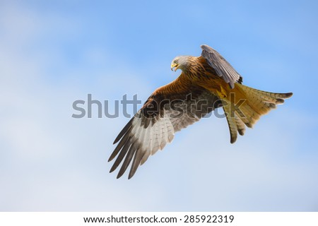 A Red Kite in flight  against a summer sky, calling to its fellow flock members. - stock photo