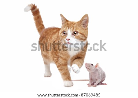 A red Kitten and a naked rat in front of a white background