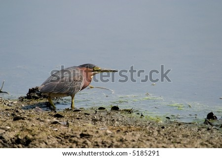 A red knot shorebird staring at the water. - stock photo