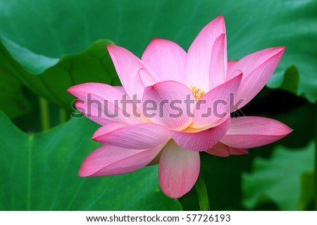 a red lotus flowers in blossom - stock photo