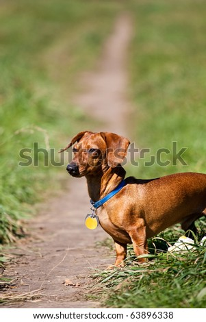 A red miniature Dachshund, posing on a trail in the late afternoon sun.