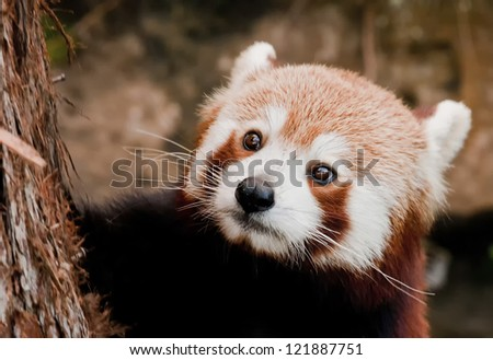 A Red Panda close up portrait - stock photo