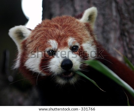 A Red Panda Red Pandas are found in the temperate forests of the Himalayas and some high mountain areas of China and Myanmar (Burma). - stock photo