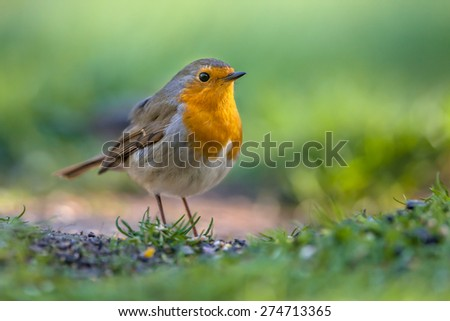 A red robin (Erithacus rubecula) foraging on the ground in an ecological garden. This bird is a regular companion during gardening pursuits - stock photo