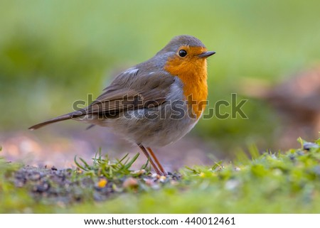 A red robin (Erithacus rubecula) foraging on the ground. This bird is a regular companion during gardening pursuits - stock photo
