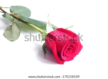 A red rose - stock photo