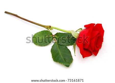 A red rose in gift - stock photo
