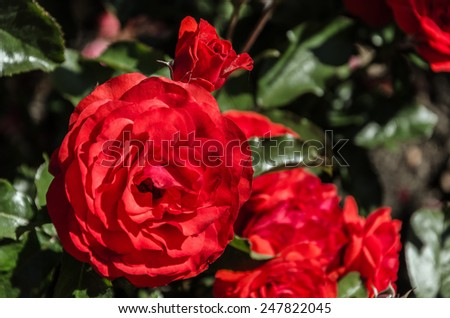 A red rose in the International Rose Test Garden in Portland, Oregon - stock photo