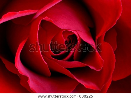 A red rose: Layers of velvety red petals - symbolic of love. Perfect for Valentine's Day or any day of the year. Can also be used as a background/texture and as a vertical. - stock photo