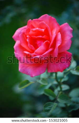 A red rose There is a red rose and a green background.  - stock photo