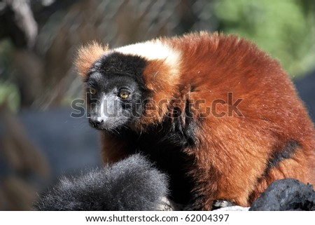 A red ruffed lemur at the zoo - stock photo