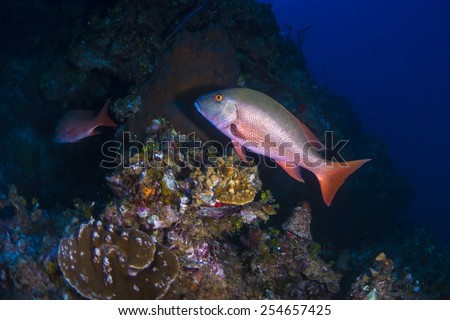 A red spot snapper swimming into the reed - stock photo