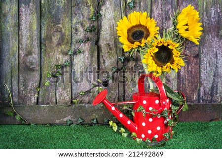A red spotted watering can with three sunflowers against a weathered fence room for text - stock photo