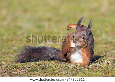 A Red Squirrel having a scratch on a grassy meadow.