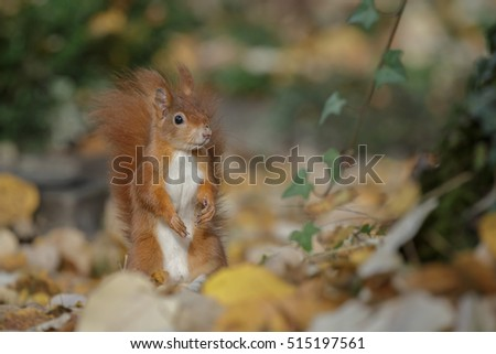 A red squirrel in winter sunshine
