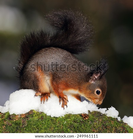 A Red Squirrel looking for food on a snow and moss covered log. - stock photo