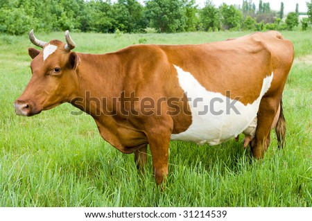 a red steppe cow stands on the field