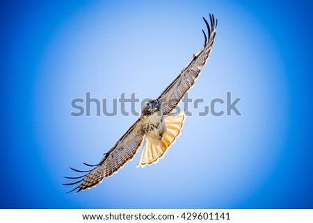 A red tail hawk flying against a blue sky. - stock photo