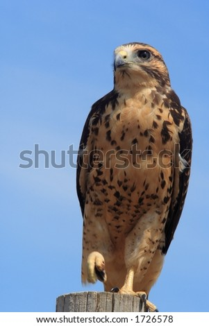 A Red-Tailed Hawk balances on a fence post with one leg. - stock photo