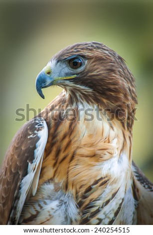 A Red-Tailed Hawk has an intense stare as it looks to the left of the image in a zoo in North Carolina. - stock photo