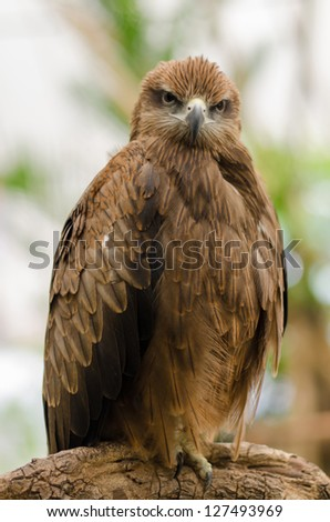 A Red tailed Hawk on a tree branch - stock photo