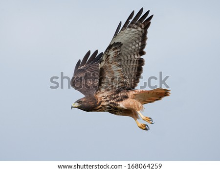 A red-tailed hawk wings through the hazy sky - stock photo