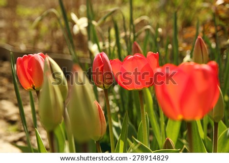 a red tulip flower  - stock photo
