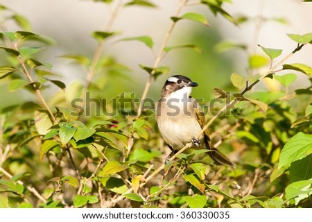 A Red-whiskered Bulbul perched on a tree branch with green leaves