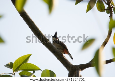A Red-whiskered Bulbul stand on branch
